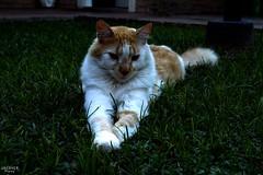 076 (guadx) Tags: naturaleza cats pets green nature animal nikon gatos felinos mascotas d3200