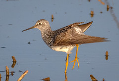 Lesser Yellowlegs Stretching (tresed47) Tags: birds us content places delaware folder waders yellowlegs takenby lesseryellowlegs 2016 bombayhook peterscamera petersphotos canon7d 201604apr 20160418bombayhookbirds