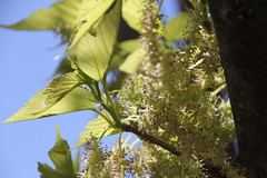 NATURE DIOISE (26150) VARIATIONS TENDRES DE MRIER PLATANE (jldarriere) Tags: fleurs die vercors arbre feuilles drme rhnealpes dauphin diois 26150 mrierplatane deaaugusta glandaz