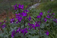 Honesty Plant (Silver Dollar Plant) (brucetopher) Tags: cold flower wet rain season spring seasons purple honesty purpleflower moisture damp moneyplant silverdollarplant changeofseason