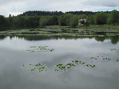 Water lilies in bloom, Lake Vernonia (Lynne Fitz) Tags: bicycle permanent populaire randonneur randonneuring