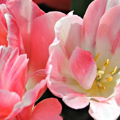 Pretty Pink Petals ~ HMM! (karma (Karen)) Tags: flowers gardens petals tulips maryland macros hmm squared monkton ladewtopiarygardens 4spring macromondays harfordco startswiththeletterp