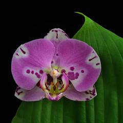 Orchid Fantasy (njk1951) Tags: stilllife orchid flower macro green closeup blackbackground leaf purple details hosta greenleaf purpleorchid orchidfantasy hostaleaf