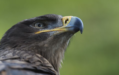 a philosopher (Aquila nipalensis) (neurodoc2010) Tags: eagle steppe aquila nipalensis steppeeagleaquilanipalensis steppenadleraquilanipalensis