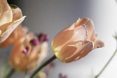 Translucence (Photo Amy) Tags: orange sun green sunshine coral petals spring tulips blossom blossoms petal tulip 50mmf18 springflower canoneos50d
