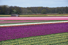Vogelenzang (cklx) Tags: red holland yellow spring tulips may tulip april brightcolors tulpen noordwijkerhout tulp lisse 2016 bollenstreek hillegom wassergeest