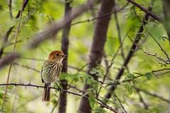 Bird (sostenesmonteiro) Tags: bird nature birds nikon natureza passarinho aves ave passaro passaros passarinhos d5200 sostenesmonteiro totecmt