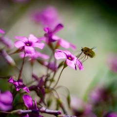 Fine landing (Kevin STRAGLIATI) Tags: pink sun flower macro nature colors animal insect spring dof flight fragile bombyle