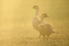 Nn Geese, Kauai, Hawaii (www.studebakerstudio.com) Tags: bird hawaii duck goose studebaker endangered nene