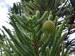 Araucaria montana cone (dracophylla) Tags: araucariaceae royaltasmanianbotanicalgardens araucariamontana