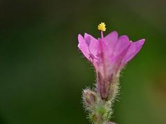 Mirabilis violacea (L.) Heimerl (carlos mancilla) Tags: flowers flores raynoxdcr250 olympussp570uz mirabilisviolacealheimerl