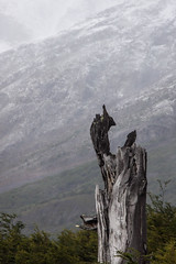 Tree Stump & Snowy Mountain - Torres del Paine - Patagonia, Chile (ChrisGoldNY) Tags: chile travel parque patagonia mountain snow tree latinamerica southamerica nature outdoors nationalpark forsale stump albumcover torresdelpaine bookcover bookcovers albumcovers licensing chilean exteriors parques greatoutdoors chrisgoldny chrisgoldberg chrisgoldphoto
