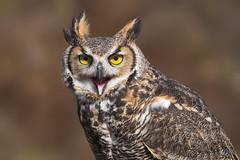 Great horned owl (Phiddy1) Tags: ontario canada birds owl greathornedowl crc