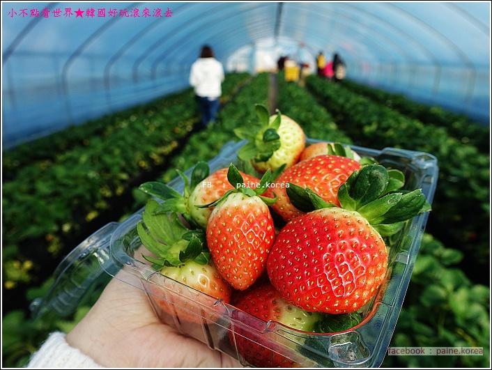 草莓園採草莓 (16).JPG