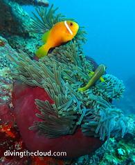 Maldive anemonefish - Pez payaso de Maldivas (divingthecloud) Tags: sea fish pez mar agua diving clownfish maldives buceo anemona maldivas pezpayaso fotosub bajoelagua maldiveanemonefish pezpayasomaldivas