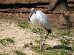 Homasassa Springs Wildlife (Darryl Kenyon) Tags: wildlife springs homosassa