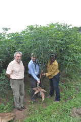 Nigeria releases more cassava with higher pro-vitamin A (IITA Image Library) Tags: breeding cassava micronutrients manihotesculenta provitamina