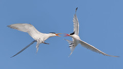 Arguments! (bmse) Tags: birds canon fight chica l elegant f56 bolsa tern salah arguments quarrel 400mm wingsinmotion 7d2 bmse baazizi