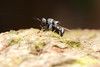 Diptera. Stratiomyidae. Genus Argyrobrithes. ~6mm (David Ball.) Tags: singapore diptera stratiomyidae canon270ex argyrobrithes