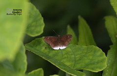 The Plain Snow Flat -  (Antonio Giudici Butterfly Trips) Tags: thailand butterflies lepidoptera yala betong hesperiidae pyrginae theplainsnowflat  tagiadeslavatus