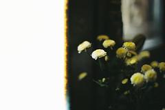 untitled (oc meo) Tags: flowers film minolta uxi