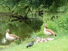 2013-07-03_13-00-24 (Colonel Matrix) Tags: park bird netherlands amsterdam duck pond duckling vondelpark babyduck