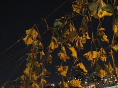 Ya la enramada se sec...  (Xic Eseyosoyese (Juan Antonio)) Tags: planta mxico canon de hojas se noche la is powershot ya romantica bolero chayote cancin trepadora sx170 sec enmramada