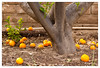 Oranges on the ground (mhocter) Tags: orange tree fruit canon eos canoneos ef canonef ef247028l canonef247028l canoneos5dmarkii 5dmarkii 5d2 canon5dmarkii