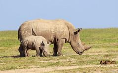 Rinoceronte-branco-do-sul (dragoms) Tags: africa mammal kenya wildlife natureza rhino rinoceronte mamfero qunia southernwhiterhinoceros ceratotheriumsimumsimum olpejeta dragoms rinocerontebrancodosul