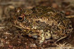 Tomopterna cryptotis  Tremolo Sand Frog.  From Roedtan, Limpopo (Tyrone Ping) Tags: africa up field canon sand close african south amphibian 100mm frog amphibians f28 herps limpopo tremolo herping tomopterna canon7d cryptotis tyroneping wwwtyronepingcoza