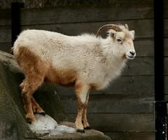 Dall Sheep 1 (Emily K P) Tags: white animal zoo sheep wildlife horns dall milwaukeecountyzoo