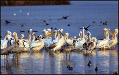 Pelicans, Cranes & Wild Ducks ,   (Ziva_Amir) Tags: blue sunset wild pelicans water israel hula flight reserve ducks cranes 300mm land f4 reflaction agamon d810