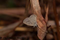 IMG_9540 (Chaitanya Shukla) Tags: india macro butterfly maharashtra in kokan guhagar patpanhale shringartali