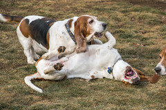 IMG_6205 (BFDfoster_dad) Tags: hound basset