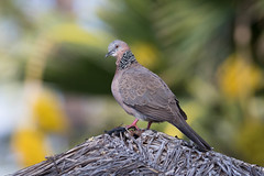 Spotted Dove (7D617840-1) (Eric SF) Tags: hawaii dove maui lahaina bestpractices spotteddove