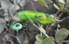 Jackson's Three Horned Chameleon (David A's Photos) Tags: hawaii january chameleon jacksons feral 2016 introduced oceanviewestates jacksonii threehorned trioceros