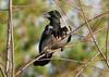 see you ... (Rolf Brecher) Tags: leica bird animal lumix panasonic schwarz tier vogel rabe krähe craw corvuscorone rabenvogel aaskrähe leicavarioelmarit lumixfz100 fz1000 panasonicfz1000 lumixfz1000 rolfbrecherberlin