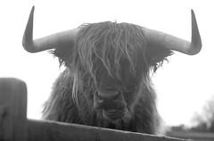 High-key Highland cattle (lmbythesea) Tags: highkey fotosondag fs160207