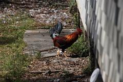 Canon201767 (godrudy6661) Tags: chickens chicken neworleans ninthward wildchicken feralchicken