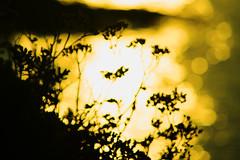 20150809-108_Overexposed Sunset Silhouettes (gary.hadden) Tags: sunset seascape landscape evening silhouettes overexposed saintmalo stmalo seedheads