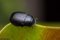 Apogonia sp, Melolonthinae (Anthony Kei C) Tags: scarabbeetle scarabaeidae melolonthinae melolonthini apogonia diplotaxina
