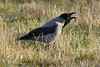 Warning Watchman (Rolf Brecher) Tags: bird animal lumix schwarz tier vogel rabe krähe craw warnung corvuscorone rabenvogel wächter aaskrähe fz1000 rolfbrecherberlin
