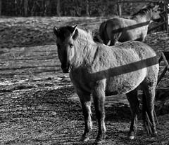 Konik-Pferde - 2016-001_Web (berni.radke) Tags: horse pferd konik konikhorses olfen steverauen konikpferde