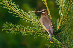 Cedar waxwing (Phiddy1) Tags: toronto ontario canada birds o waxwing cedarwaxwing
