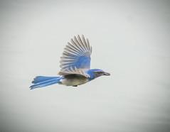 Blue Strick. (Omygodtom) Tags: wild portrait abstract bird nature outdoors nikon natural bokeh wildlife scrubjay d7100 nikon70300mmvrlens