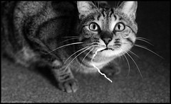 Ñam. (anna punx) Tags: blackandwhite white black blancoynegro blanco sepia cat grey gris play sleep tabby tiger negro attack bigotes gato dormir mushi whiskas rayado tigrre