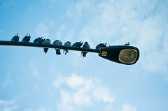 Pigeon Lined on the Streetlight (Orbmiser) Tags: winter oregon portland nikon streetlight pigeons perched d90 55200vr