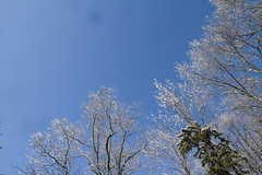 Snow tipped trees & clear blue sky 1 (Mikeinwayne...On and off...) Tags: blue trees winter sky white snow newjersey nj
