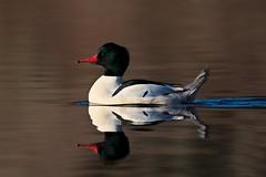 Tail up (Adam Wang) Tags: reflection bird nature duck colorful wildlife merganser