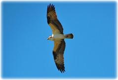Sawgrass Lake Park - St Petersburg, Florida (lagergrenjan) Tags: park lake st florida petersburg osprey sawgrass